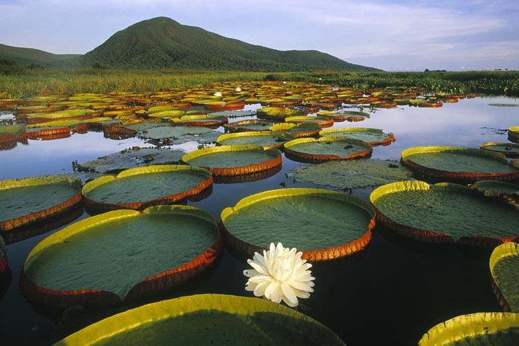 необычная растительность на болотах Пантанала
